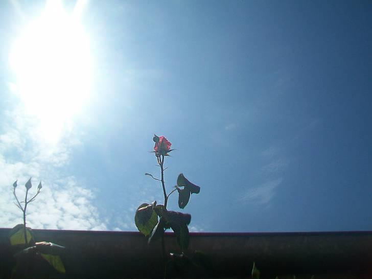 una rosa e cielo azzuro