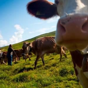 Sapori di Malga, nelle Dolomiti i formaggi più buoni si battono all'asta
