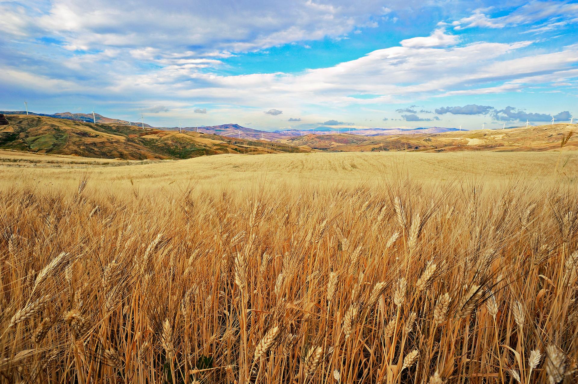 Campo di grano concorso fotografico i paesaggi del cibo for Da dove proviene il grano della barilla