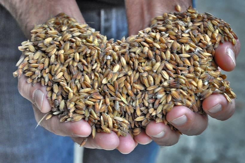 Il riso è l'alimento più caratteristico dell'Oltrepò Pavese