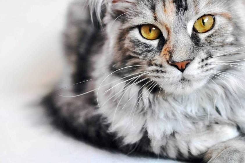 I Gatti Più Belli Del Mondo In Mostra A Genova