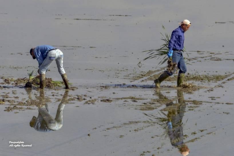 Lavori nelle risaie