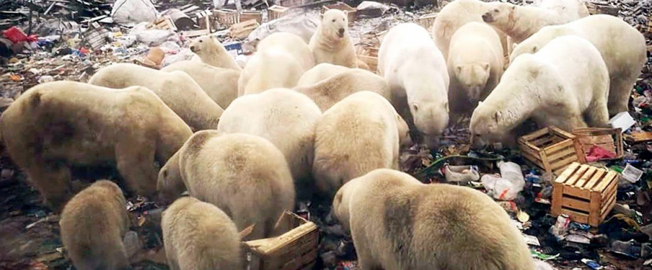Cosa ci fanno cinquanta orsi polari tra case e uffici di un villaggio russo?