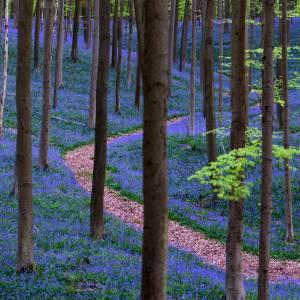 La meravigliosa foresta incantata di Hallerbos, in Belgio