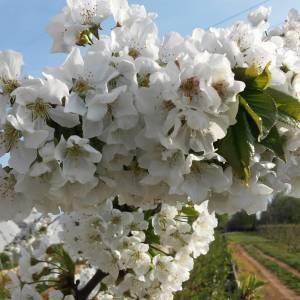 Cherry Blossom incontri asiatici in tutto il mondo